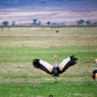 Grey Crowned Crane. The national bird of Uganda - 图库照片