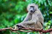 Baboon monkey in African bush — Stock Photo
