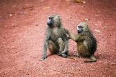 Scimmie di babbuini nel bush africano — Foto Stock