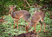 A couple of dik-dik antelopes, in Tanzania, Africa — Foto de Stock