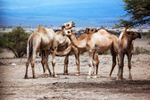 Group of camels in Africa — Stock Photo