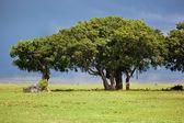 Tree on savannah. Ngorongoro, Tanzania, Africa — Stock Photo