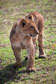 A small lion cub portrait. Tanzania, Africa — Stock Photo