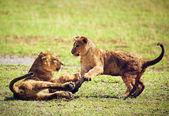 Small lion cubs playing. Tanzania, Africa — Stock Photo