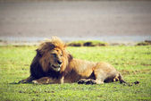 Big male wild lion on savannah. Ngorongoro, Africa. — Stock Photo