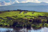 Zebras on green grassy hill. Ngorongoro, Tanzania, Africa — Stock Photo