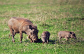 The warthog family on savannah in the Ngorongoro crater, Tanzania, Africa. — Stock Photo