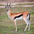 Thomson's gazelle on savanna in Africa — Stock Photo #19230613