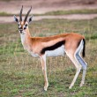 Thomson's gazelle on savanna in Africa — Stock Photo