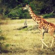 Giraffe on African savanna - Stock Photo