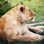donna leone sdraiato. Serengeti, tanzania — Foto Stock