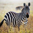 Zebra portrait on African savanna. — Stock Photo #19230703