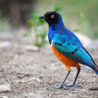Superb Starling bird in Tanzania, Africa - Stock Photo