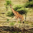 Giraffe on African savanna — Stock Photo
