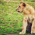 Small lion cub portrait. Tanzania, Africa — Stock Photo