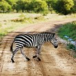 Zebra walking on road on African savanna. — Stock Photo