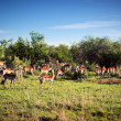 Impala&#039;s herd on savanna in Africa - Stockfoto