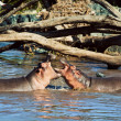 Hippo, hippopotamus fighting in river. Serengeti, Tanzania, Africa — Stock Photo