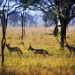 Jackals on savanna. Safari in Serengeti, Tanzania, Africa — Stock Photo