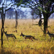 Jackals on savanna. Safari in Serengeti, Tanzania, Africa - Stock Photo