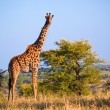 Foto Stock: Giraffe on savanna. Safari in Serengeti, Tanzania, Africa