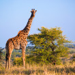 Giraffe on savanna. Safari in Serengeti, Tanzania, Africa — Foto Stock #19230879