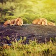 Lions on rocks on savanna at sunset. Safari in Serengeti, Tanzania, Africa - Stock Photo