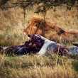 Stock Photo: Lion and his prey on savanna, Serengeti, Africa