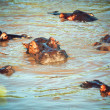 Hippo, hippopotamus group in river. Serengeti, Tanzania, Africa - 图库照片