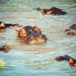 Hippo, hippopotamus group in river. Serengeti, Tanzania, Africa - ストック写真
