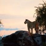 在日落的女性狮子。塞伦盖蒂坦桑尼亚 — 图库照片