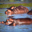 Hippo, hippopotamus in river. Serengeti, Tanzania, Africa — Stock Photo #19230895