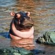 Hippo, hippopotamus in river. Serengeti, Tanzania, Africa - Stock Photo