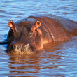 Hippo, hippopotamus in river. Serengeti, Tanzania, Africa — Stock Photo #19230903