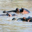 Hippo, hippopotamus group in river. Serengeti, Tanzania, Africa - Стоковая фотография