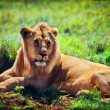 Young adult male lion on savanna. Safari in Serengeti, Tanzania, Africa — Stock Photo