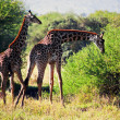 Stock Photo: Giraffes on savanna eating. Safari in Serengeti, Tanzania, Africa