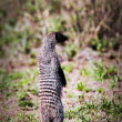 Mongoose standing. Safari in Serengeti, Tanzania, Africa - Stock Photo