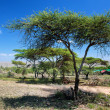 Savanna landscape in Africa, Serengeti, Tanzania — Stock Photo #19231021
