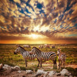 Stock Photo: Zebras herd on Africsavannat sunset.