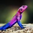 Stock Photo: MwanzFlat-headed Agama. Serengeti, Tanzania