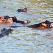 Hippo, hippopotamus group in river. Serengeti, Tanzania, Africa - Stok fotoraf
