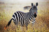 Zebra portrait on African savanna. — Stock Photo