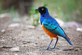 Superb Starling bird in Tanzania, Africa — Stock Photo