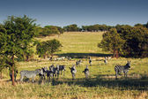 Zebras herd on African savanna. — Foto Stock