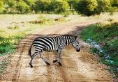 Zebra walking on road on African savanna. — Stock Photo