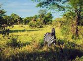 Zebra in grass on African savanna. — Stock Photo