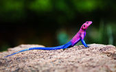 The Mwanza Flat-headed Agama. Serengeti, Tanzania — Stock Photo