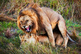 A couple of lions copulation on savanna Serengeti, Tanzania, Africa — Stock Photo
