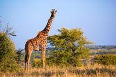 Giraffa sulla savana. safari nel serengeti, tanzania, africa — Foto Stock